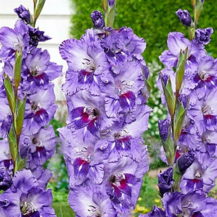 Гладиолус Крупноцветковый Биг Герл (7) - фото 73627