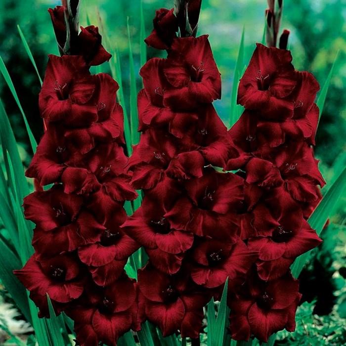 Гладиолус Крупноцветковый Блэк Бьюти (10) - фото 73628