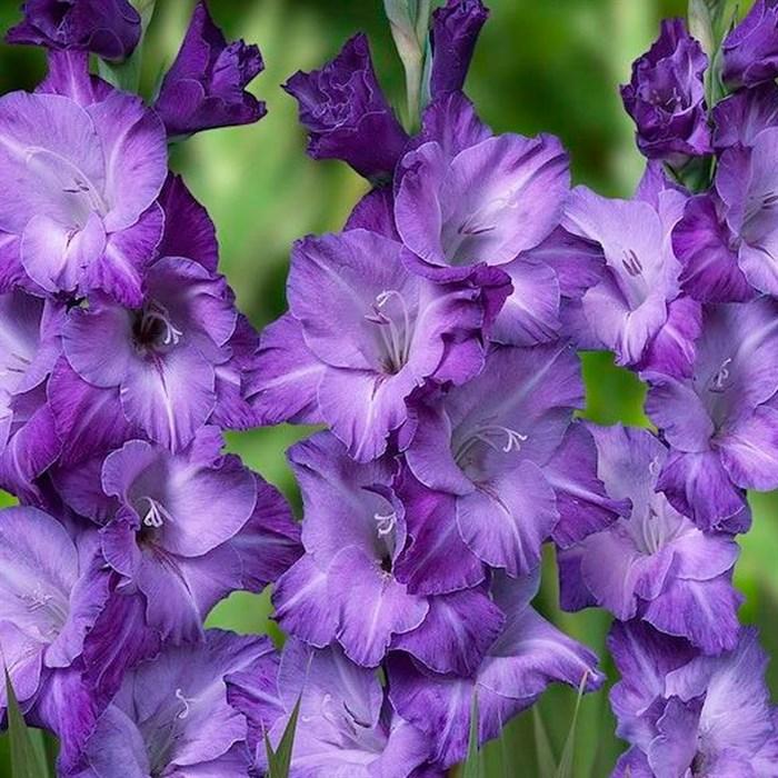 Гладиолус Крупноцветковый Блю Тропик(7) - фото 73629