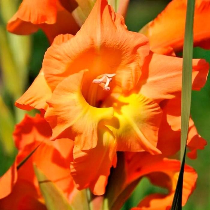 Гладиолус Крупноцветковый Ботсвана (10) - фото 73632