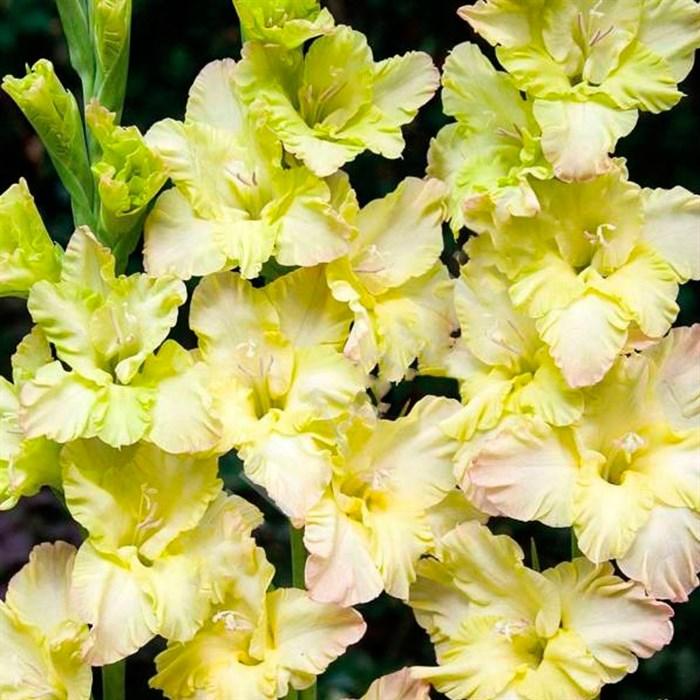 Гладиолус Крупноцветковый Кемерово (7) - фото 73637
