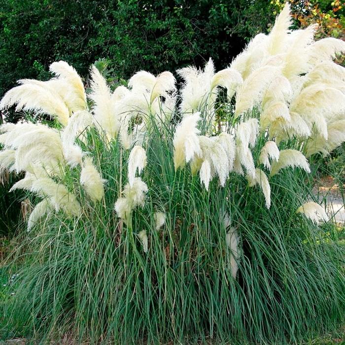 Кортадерия белая - фото 73734