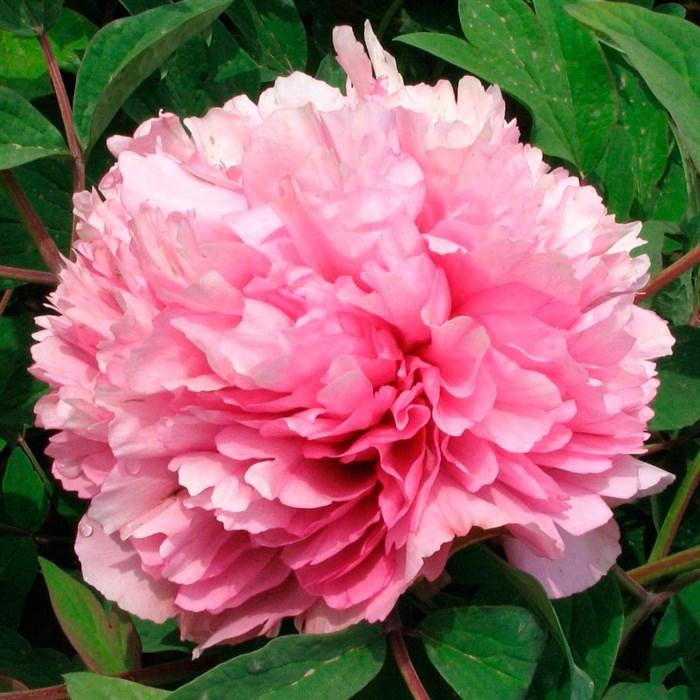 Пион Розовый Лу - фото 73746