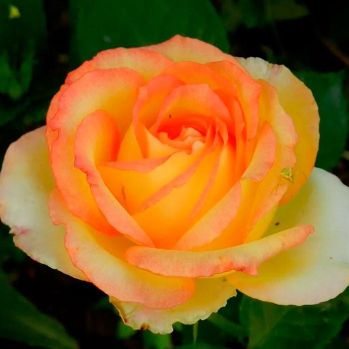 Роза Амбианс - фото 74350