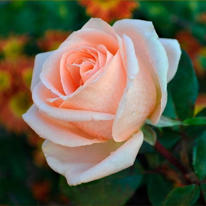 Роза Осиано - фото 74352