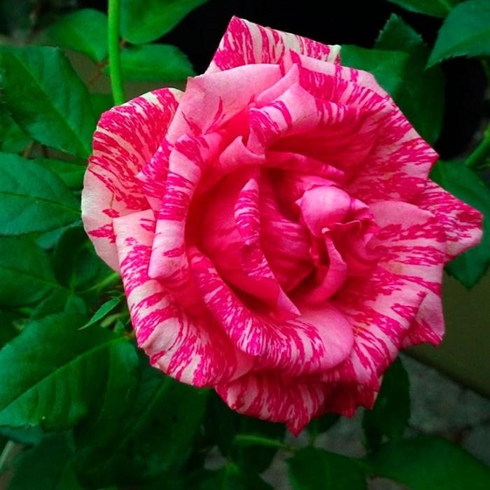 Роза Пинк Интуишн - фото 74353