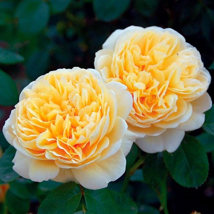 Роза Шарлотта - фото 74367