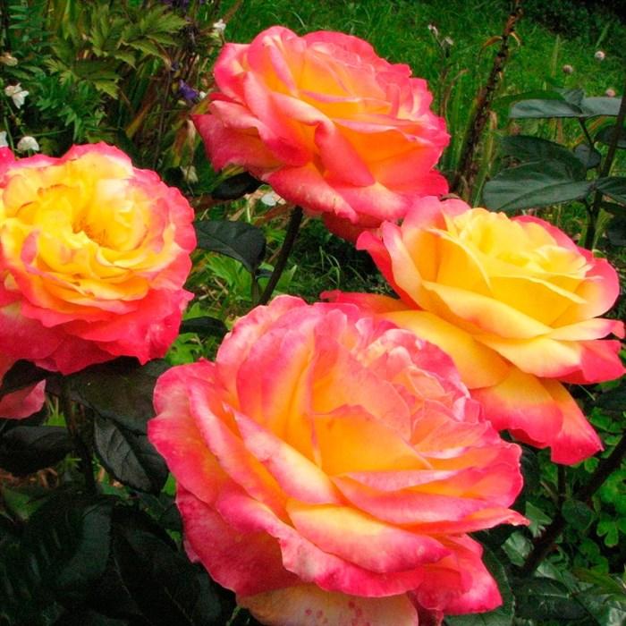 Роза Восточный Экспресс - фото 74368