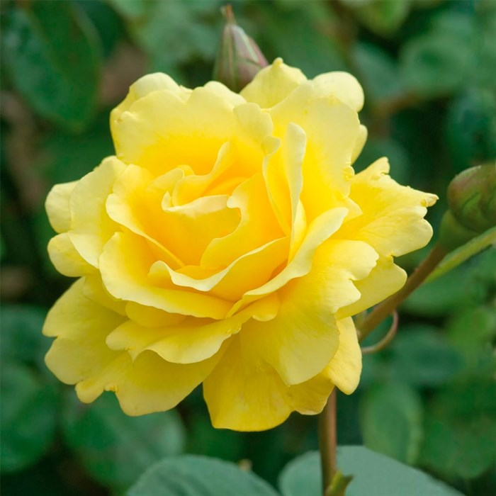Роза Голден Гейт - фото 74369