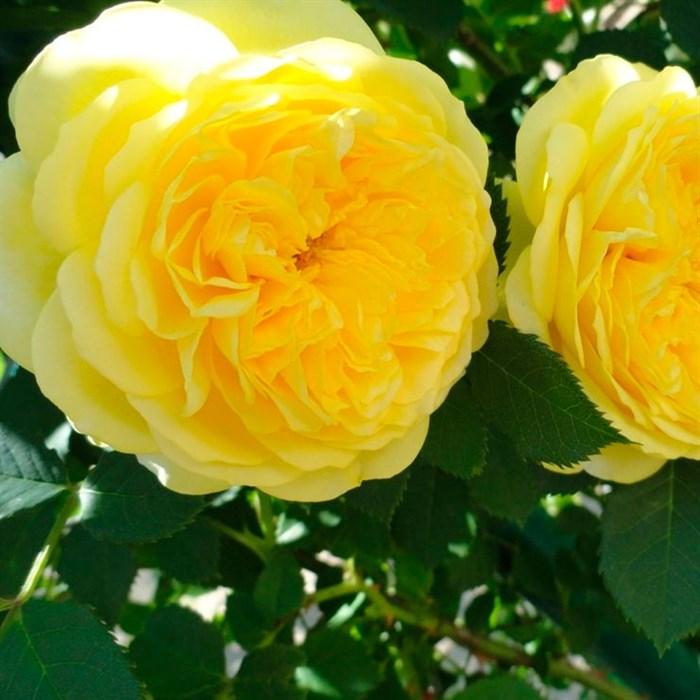 Роза Зе Пилигримм - фото 74371