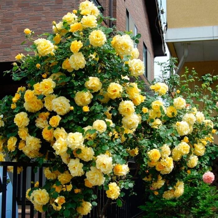 Роза Золотые Ливни - фото 74372