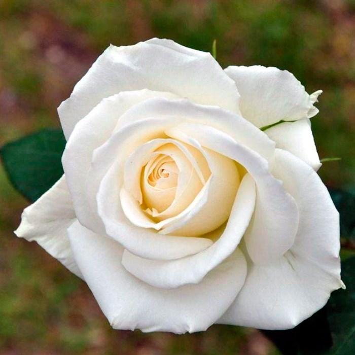 Роза Бьянка - фото 74387