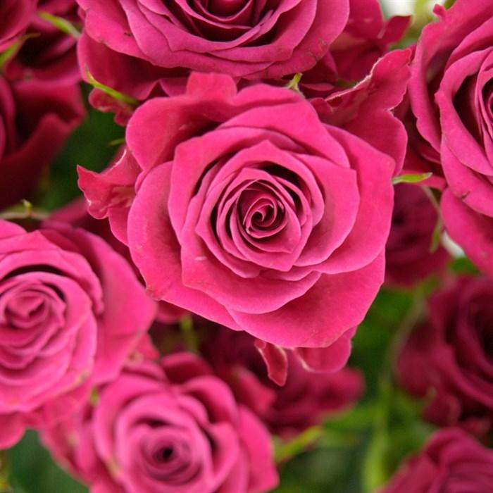 Роза Глориос - фото 74388