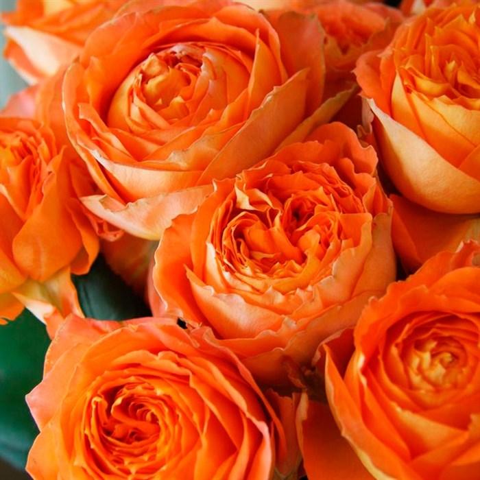 Роза Романтика Мандариновая - фото 74516