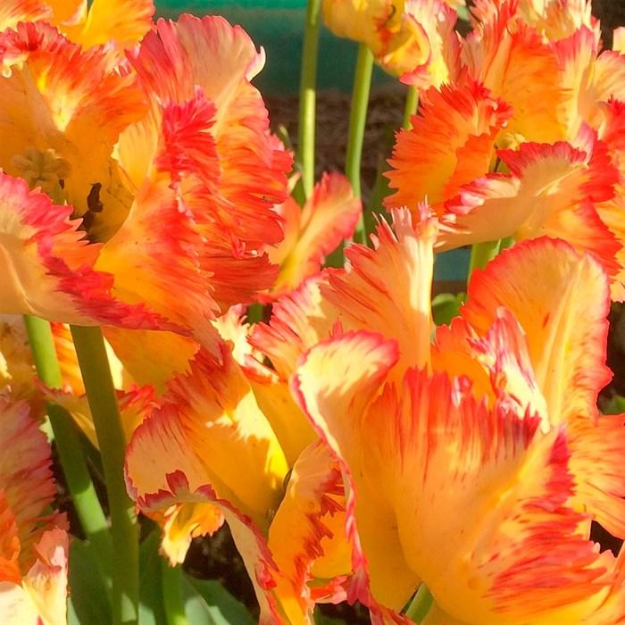 Тюльпан Карибиан Пэррот (3) - фото 74591