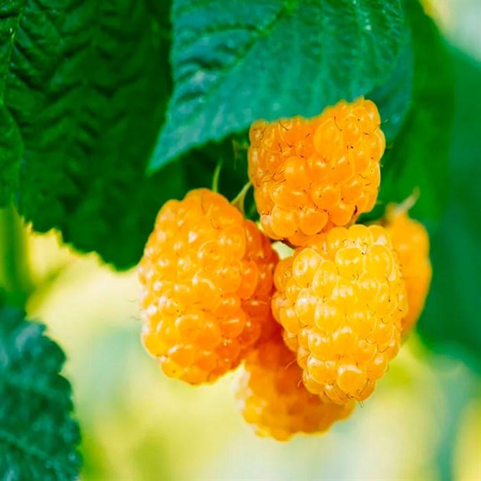 Малина Золотая Осень - фото 74914