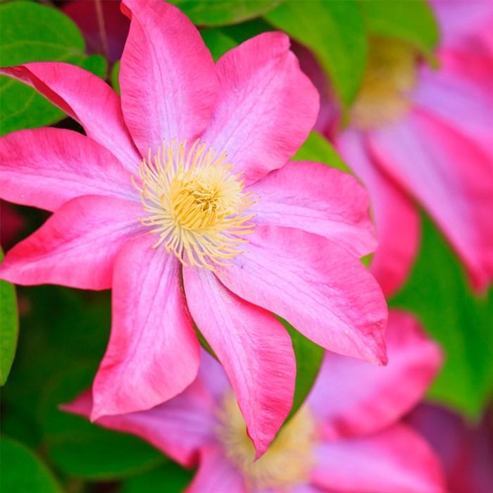 Клематис крупноцветковый Асао - фото 75559