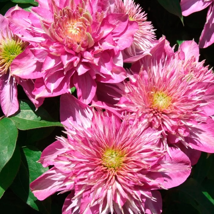 Клематис крупноцветковый Кайзер - фото 75562