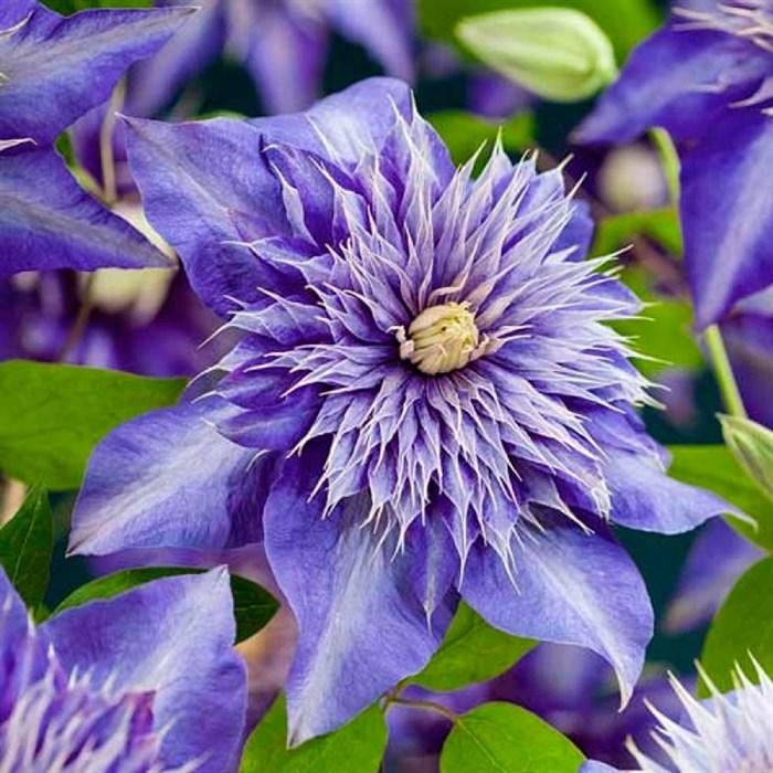 Клематис крупноцветковый Мульти Блю - фото 75563