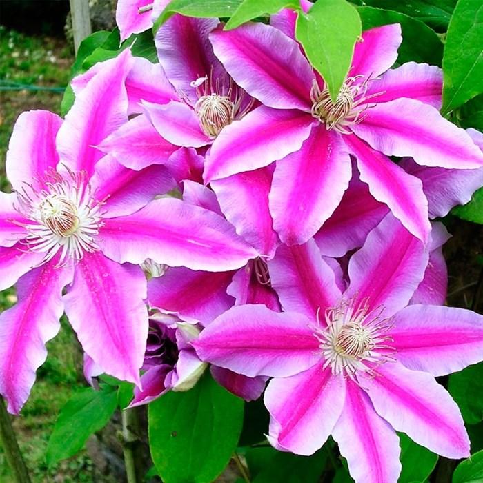 Клематис крупноцветковый Нелли Мозер - фото 75564