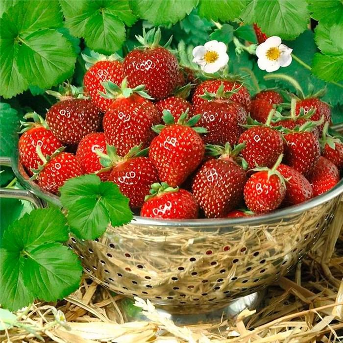 Земляника садовая - фото 75573