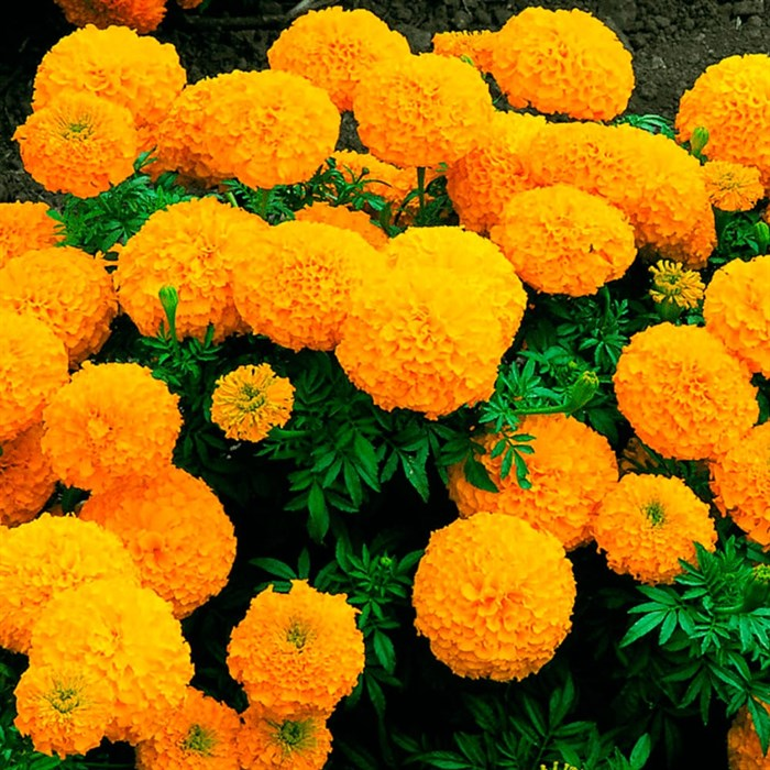 Бархатцы Прямостоячие Дискавери Оранж (сеянец) - фото 75599