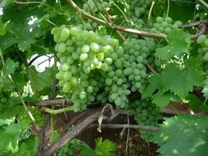 Виноград Эврика