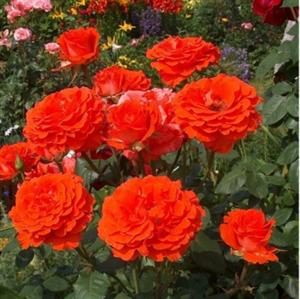 Роза Мерседес