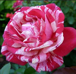 Роза Папагено - фото 49047