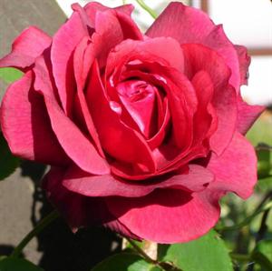 Роза Этоль Де Голланд - фото 49158