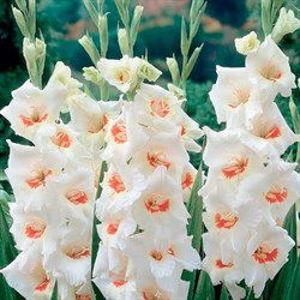 Гладиолус Крупноцветковый Фиорентина (7)