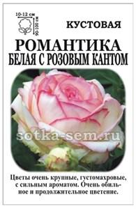 Роза Романтика Белая с розовым кантом