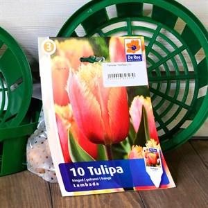 Тюльпан Ламбада (10) - фото 61062
