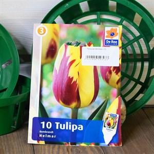 Тюльпан Хелмар (10)