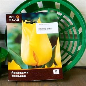 Тюльпан Йокохама (3)
