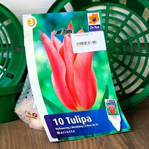 Тюльпан Мариэтт (10) - фото 61091