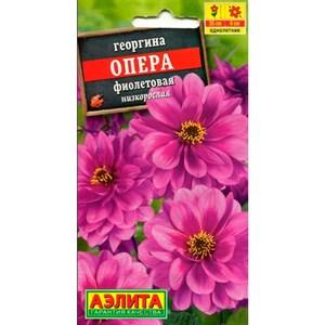 Георгина Опера фиолетовая