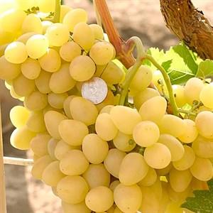 Виноград Аркадия - фото 73161