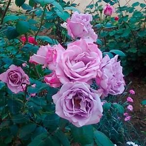 Роза Блю Парфюм - фото 73177