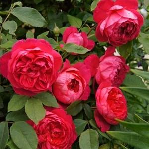 Роза Бенджамин Роуз