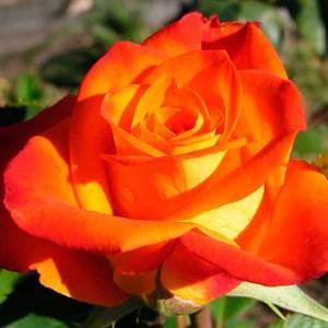 Роза Винер Чарм