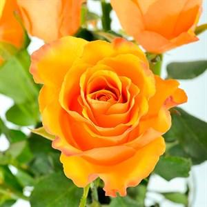 Роза Йоки Доки