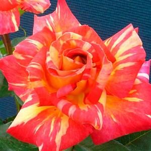 Роза Карибия - фото 73204
