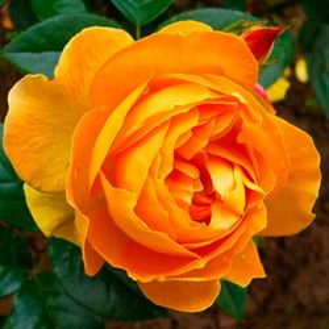 Роза Кипферкониген
