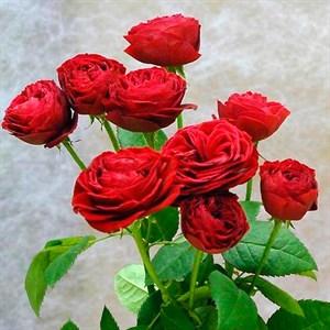 Роза Китайский спрей