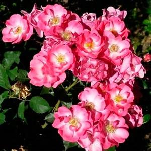 Роза Кумбайна - фото 73208