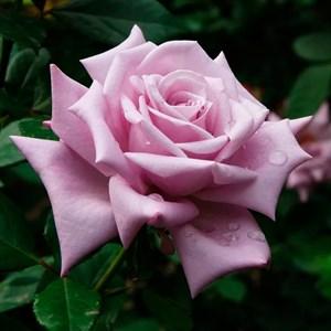Роза Майзер Фастнахт - фото 73210