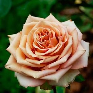 Роза Марракеш коричневая - фото 73211