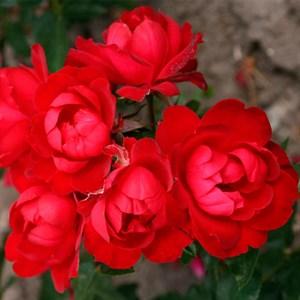Роза Милана