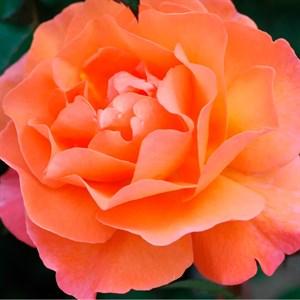 Роза Оранж Климбер
